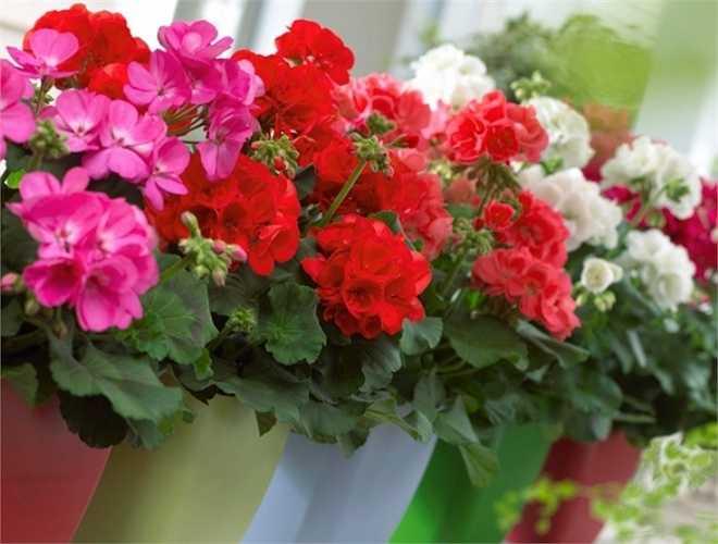 Phong lữ là loài cây cho hoa đẹp và có mùi thơm quyến rũ, nhưng lại là khắc tinh của muỗi và côn trùng. Một vài chậu hoa có màu tím này sẽ giúp trang trí nhà cửa và bảo vệ cả gia đình bạn khỏi sự tấn công của muỗi.