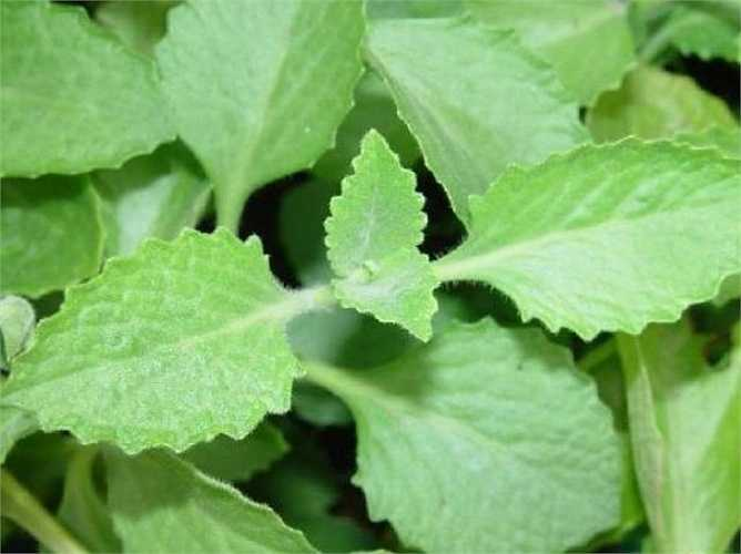 Húng chanh rất khỏe mạnh, dễ trồng và phát triển tốt ngay cả trong bóng râm. Ngoài việc trồng xung quanh nhà chống muỗi, bạn có thể phơi khô lá và sử dụng loại rau thơm này làm trà thảo dược thơm ngon.