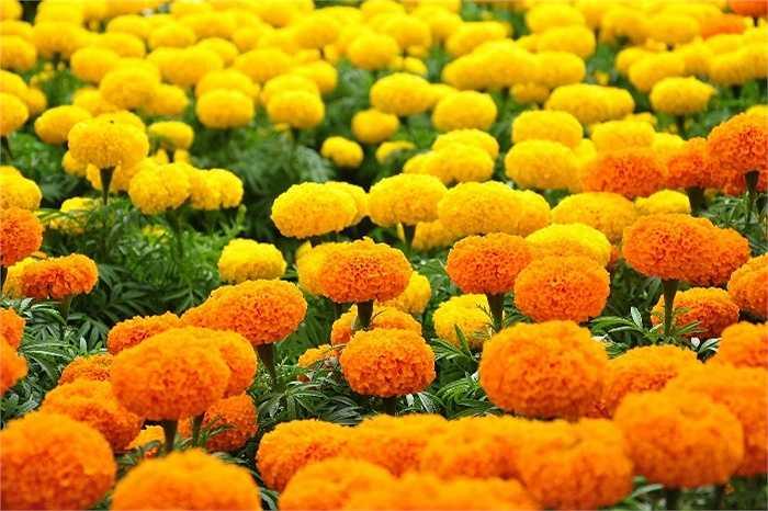 Cúc vạn thọ có chứa kim cúc - thành phần phổ biến trong các sản phẩm chống côn trùng, đặc biệt loài hoa này có mùi thơm độc đáo khiến muỗi 'không ưa'. Trồng một vài chậu hoa cúc vạn thọ xung quanh nhà, ngoài vườn, muỗi chắc chắn không thể tấn công.
