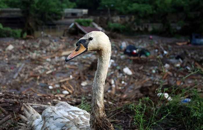 Một con thiên nga vùi bùn sau trận lụt