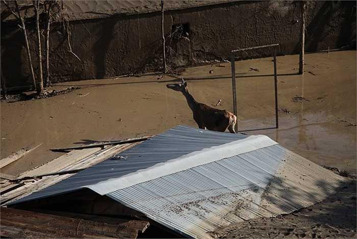Một con hươu trong sở thú thoát ra ngoài