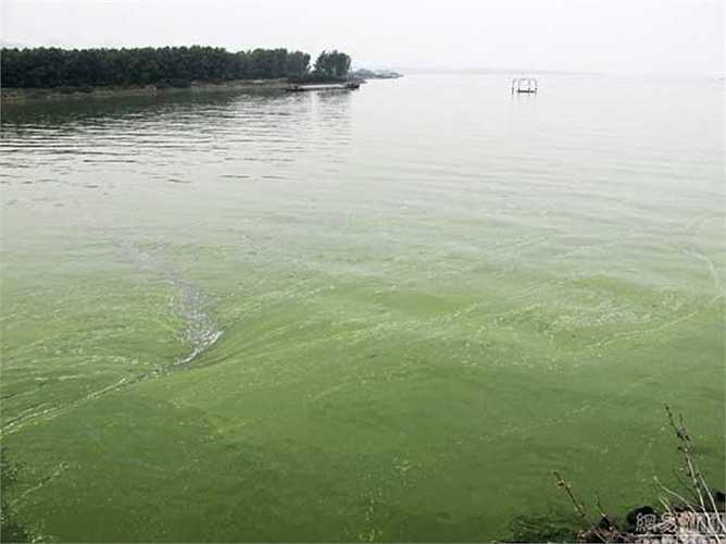Bề mặt hồ phủ một màu xanh của tảo