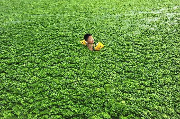 Trung Quốc còn có nhiều nơi bị tảo xanh tấn công, trong ảnh là cậu bé bơi trong làn nước đặc tảo ở Thanh Đảo