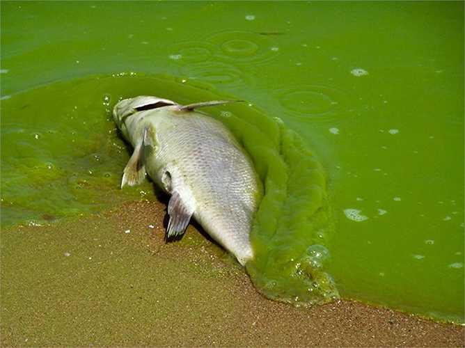 Cá chết vì tảo xanh làm ô nhiễm