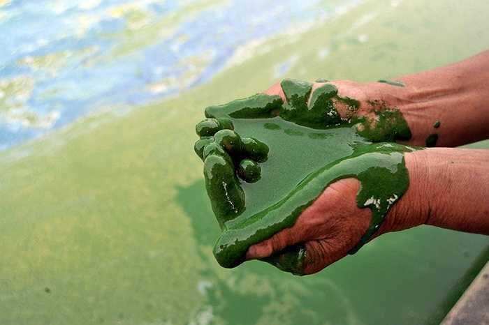 Nước hồ đặc tảo khiến các sinh vật khó sống