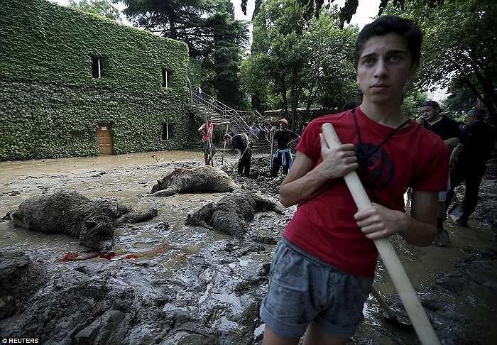 Một tình nguyện viên bắt đầu hoạt động khắc phục hậu quả sau lũ trong khi những người khác chuẩn bị đào hố chôn 3 con gấu