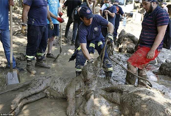 Một nhân viên cứu hộ đang buộc dây thừng vào cổ con hổ đã chết để di chuyển đi nơi khác