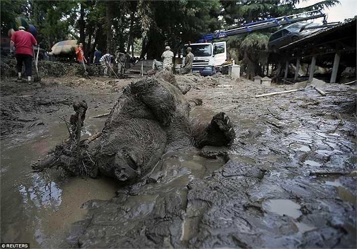 Xác một con gấu nằm ngửa trên bùn đất