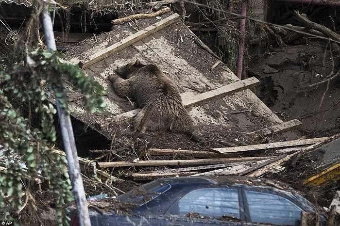 Một con gấu cố bám vào mảnh ván nhưng vẫn không vượt qua được trận lũ