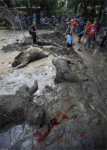 Máu động vật lênh láng xen lẫn cả bùn đất. Các tình nguyện viên đang đào hố chôn những con vật đã chết