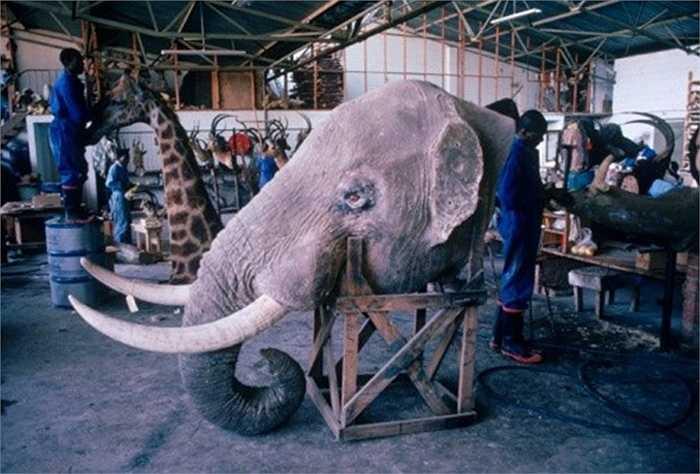 3. Kiếm tiền từ động vật bị săn bắn: Xác động vật hoang dã luôn được thị trường chợ đen săn đón. Các sản phẩm khác từ động vật cũng được tận thu. Tại Zimbabwe, rất nhiều người làm công việc nhồi bông thú.