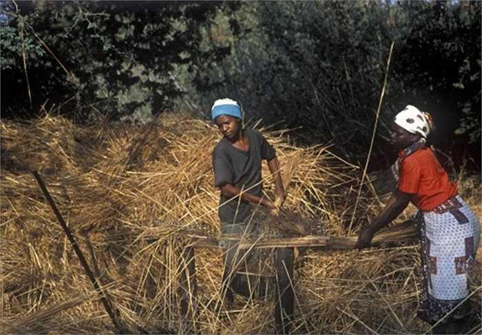 7. Làm mái tranh: Mái tranh là vật liệu có giá rất rẻ nhưng lại được ưa chuộng ở các khu du lịch của Zimbabwe. Sản phẩm này đem đến cảm giác mới lạ và thân thiện với môi trường cho những ai ghé thăm đất nước nói trên.