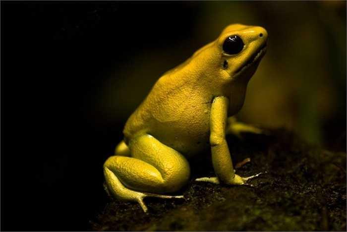 Ếch độc vàng. Những con ếch này càng sở hữu bộ da sặc sỡ bao nhiêu, chúng càng độc hại bấy nhiêu. Nọc độc tiết ra từ bộ da có thể giết 10 người hoặc 2 con voi đực. Rõ ràng với kích thước nhỏ bé, ít ai nghĩ loài ếch này có khả năng giết người ghê gớm đến vậy