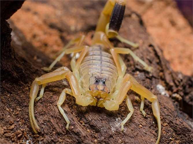 Bọ cạp sát thủ. Loài bọ cạp này có tên là Leiurus quinquestriatus và thường sống ở Bắc Phi cũng như Trung Đông. Mặc dù chỉ dài khoảng 80mm nhưng nó được coi là loài bọ cạp sở hữu nọc độc kinh khủng nhất