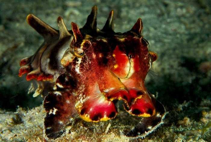 Mực nang Metasepia pfefferi. Chúng thường sinh sống ở vùng nhiệt đới Ấn Độ-Thái Bình Dương vùng biển ngoài khơi phía bắc Australia, miền nam New Guinea. Loài mực này có thể đổi màu đánh lừa con mồi và tung ra những nọc độc thần kinh gây chết người