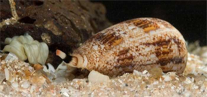 Ốc nón. Loài vật này chỉ dài khoảng 10 - 15 cm và thường chỉ sinh sống tại các rặng san hô Thái Bình Dương. Chúng sở hữu conotoxins - loại độc tố mạnh nhất thế giới. Khi tiếp cận con mồi, ốc nón sẽ phóng ra một lưỡi móc, chích và làm tê liệt chúng.