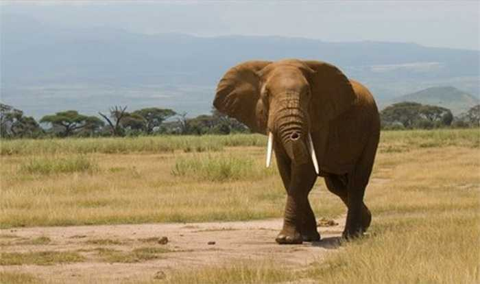 Theo ước tính, 96 con voi bị giết hại mỗi ngày ở châu Phi.