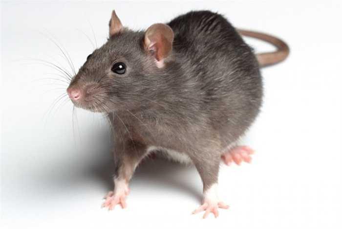 7. Tra tấn với chuột. Tù nhân bị nhốt cùng những con chuột tham ăn trong một chiếc thùng và người ta đốt nóng từ bên ngoài. Những con chuột sẽ nháo nhào tìm lối thoát và có thể cắn rách dạ dày của tù nhân để lánh nạn mang đến một cái chết vô cùng đau đớn