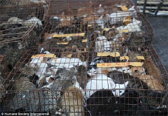 Những con mèo bị nhốt chặt trong những lồng sắt chuẩn bị được đưa đến lò mổ