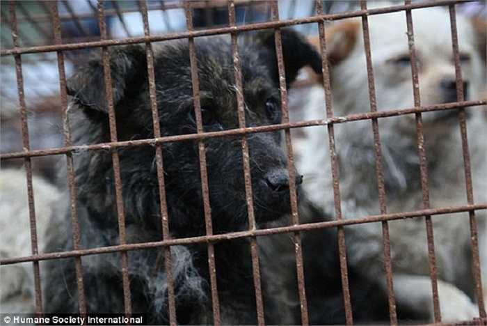 Rất nhiều người phản đối lễ hội thịt chó mèo này