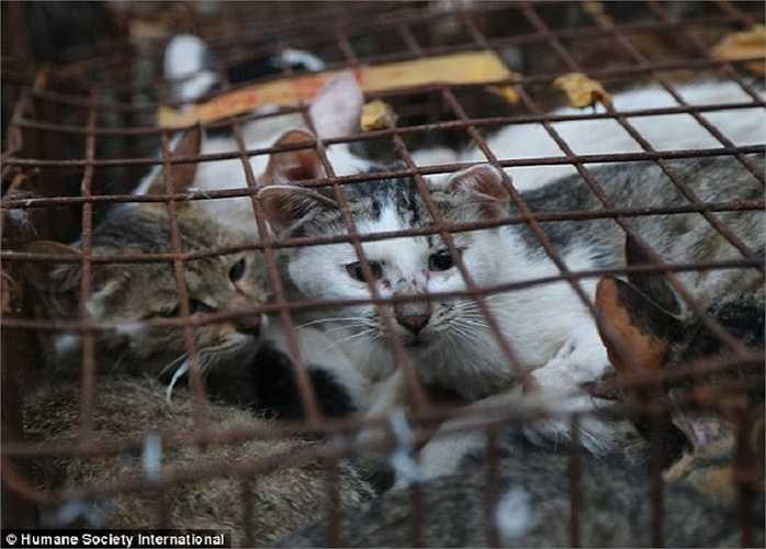 Những con mèo sẽ bị giết mổ và bán với giá khoảng 140,000 đồng/kg