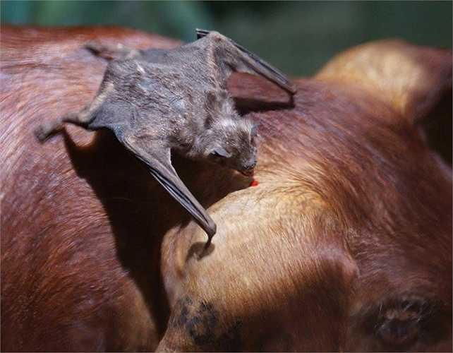 Dơi quỷ gồm ba chi đơn loài, tức là tổng cộng chỉ có 3 loài dơi hút máu còn tồn tại: dơi quỷ thông thường, dơi quỷ chân lông và dơi quỷ cánh trắng.