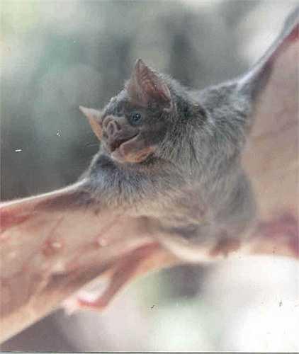 Dơi quỷ thông thường hút máu động vật có vú, kể cả con người, trong khi mục tiêu của dơi quỷ chân lông và dơi quỷ cánh trắng là các loài chim.