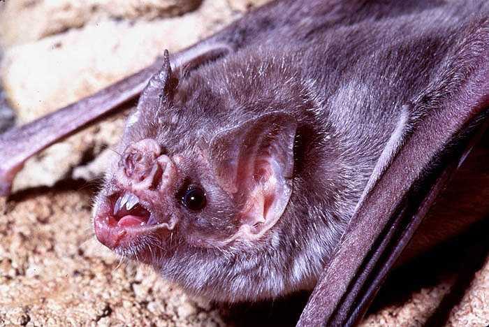 Khi dơi quỷ nhận diện được vật chủ, một con thú đang ngủ say, chúng tiếp cận vật chủ trên mặt đất và dùng các cơ quan cảm thụ nhiệt để tìm các vùng da có nhiệt độ cao của vật chủ đặng hút máu.