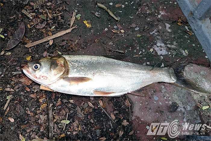 Theo những người dân xuống cống bắt cá thì cá bắt được chủ yếu là cá Mè ranh.