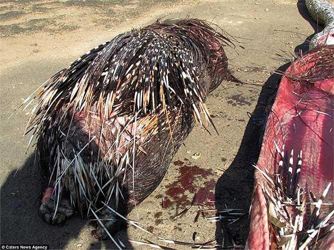 Những người chứng kiến đã 'sốc' khi nhìn thấy con nhím nặng khoảng 13 kg trong bụng con trăn