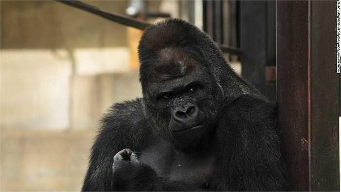 Shabani trở nên nổi tiếng sau khi một nữ du khách chụp ảnh chú khỉ đột này rồi đăng tải lên Twitter với dòng chú thích 'Chú khỉ quá đẹp trai'