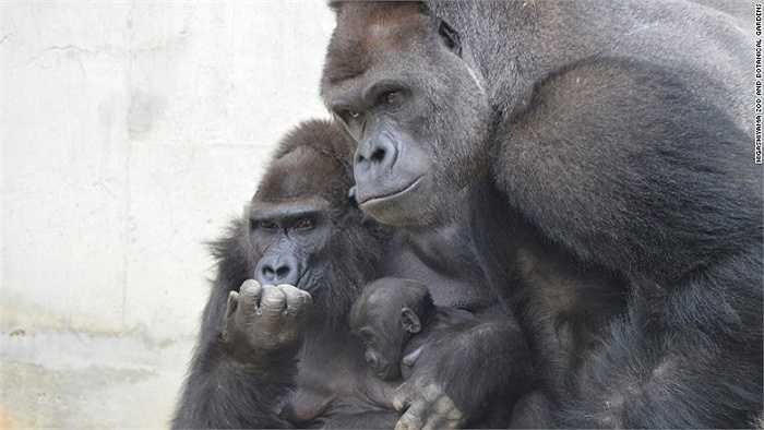 Shabani còn được khen vì là 'ông bố tuyệt vời' của hai khỉ con