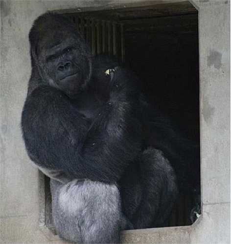 Lượng khách thăm quan vườn thú tăng đáng kể nhờ danh tiếng của chú khỉ