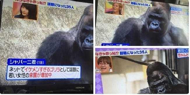 Nhiều cô gái đến vườn thú chỉ để được chụp ảnh chung với chú khỉ và đăng ảnh lên tài khoản Twitter