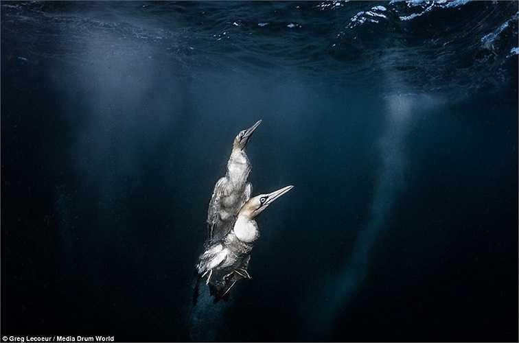 Lecoeur ghi lại khoảnh khắc hai con chim đang bơi nhanh lên mặt nước sau khi lao vào đàn cá