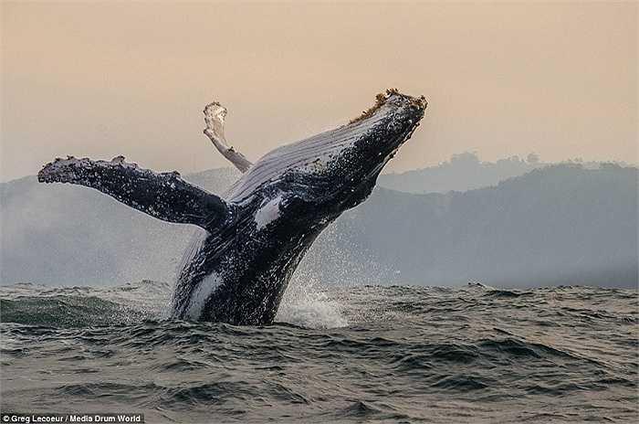 Có vẻ như đây là một ngày vui vẻ của con cá voi này với một bữa ăn no bụng khi đàn cá mòi xuất hiện