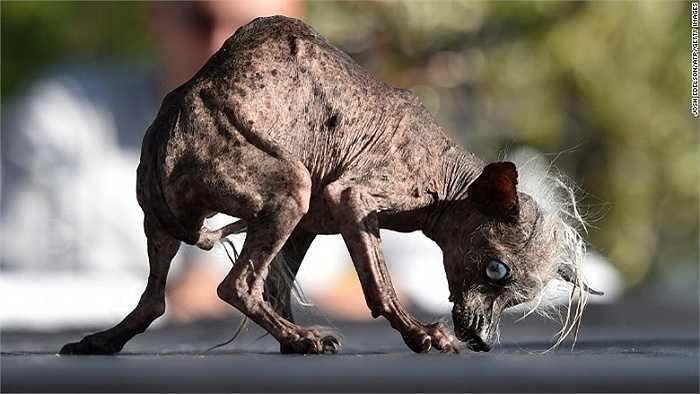 Chú chó Sweepie Rambo cũng giành được phần thưởng 1,500 USD vì bộ dạng xấu xí của mình