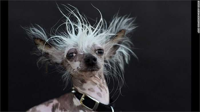 Chân dung Rascal Deux, một chú chó đến từ 'gia tộc chó xấu xí' tham dự cuộc thi. Bố của Rascal Deux từng giành giải nhất cuộc thi này vào năm 2002