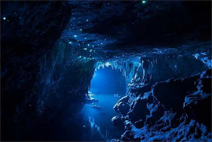 Những con đom đóm này có tên là Arachnocampa luminosa. Chúng phát ra ánh sáng hòa trộn giữa xanh dương và xanh lá cây