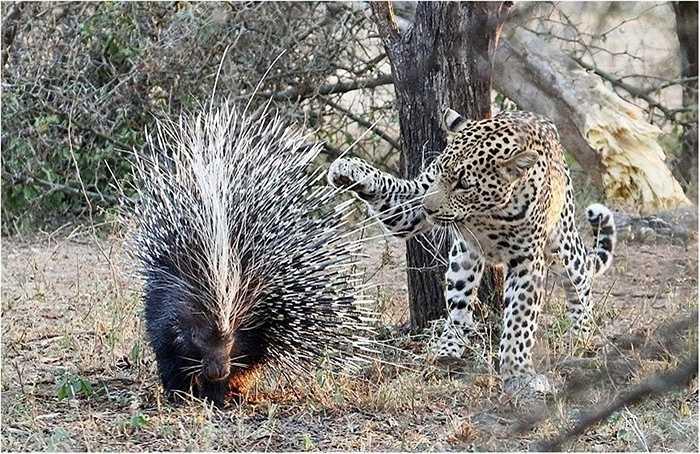 Hầu hết các con vật đều run sợ khi gặp kẻ ăn thịt đáng sợ trên đồng cỏ châu Phi là báo đốm. Nanh vuốt của chúng có thể xé xác con mồi sau một lúc rượt đuổi