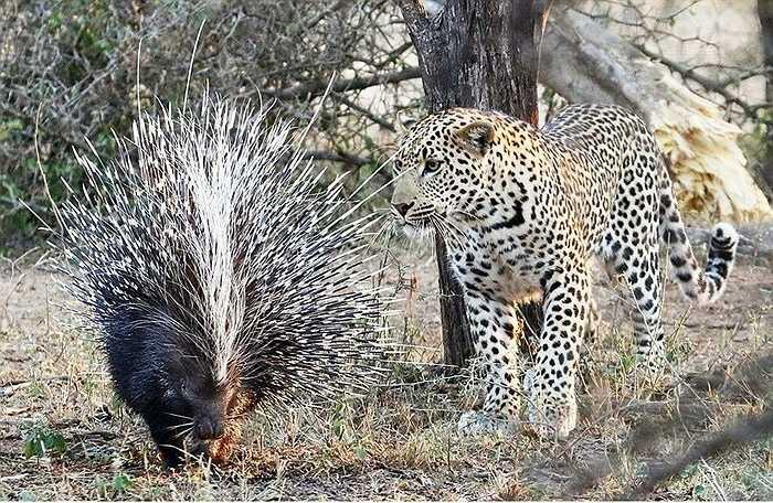 Nhưng, dường như con báo có hùng dũng đến đâu cũng có chút cảnh giác khi gặp chú nhím ở đồng cỏ. Nếu nhìn qua tương quan thể lực, con báo có thể tấn công con nhím nhanh chóng