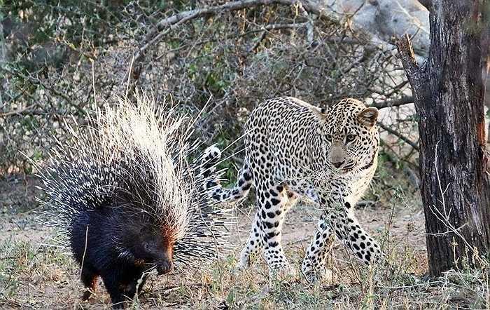 Tuy nhiên, con nhím đâu có sợ. Chúng có bộ lông sắc nhọn là vũ khí đáng sợ không kém nanh vuốt của kẻ ăn thịt. Cho nên dù con báo tỏ vẻ ve vãn để tấn công vẫn không được