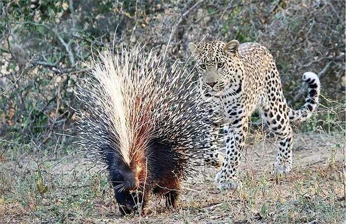 Bộ lông xù thẳng đứng, cứng và nhọn của con nhím đã giúp chúng bình tĩnh khi gặp báo. Con báo sau khi thăm dò bộ lông có chút nhụt chí
