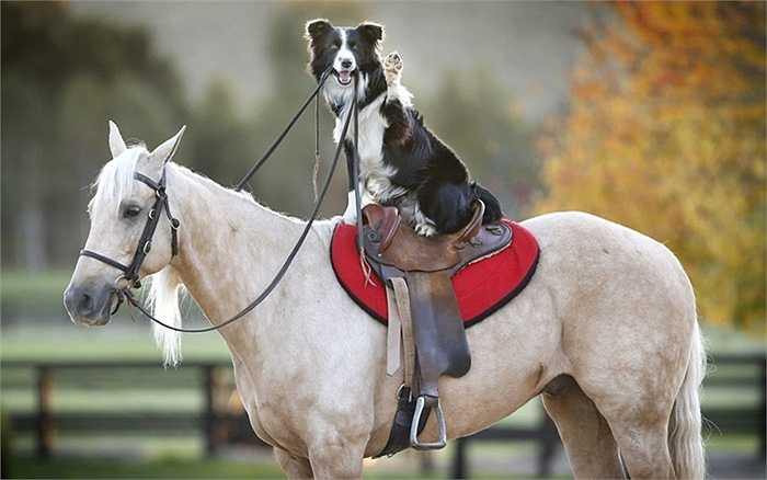Chó cưỡi ngựa