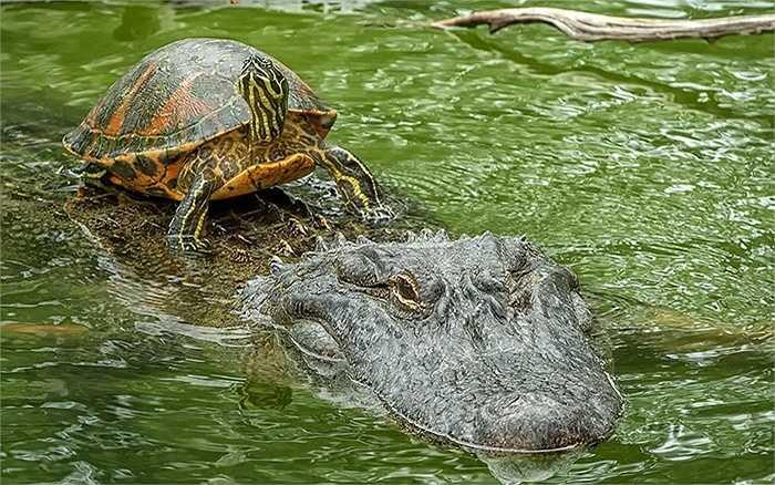 Rùa dũng cảm trên đầu cá sấu