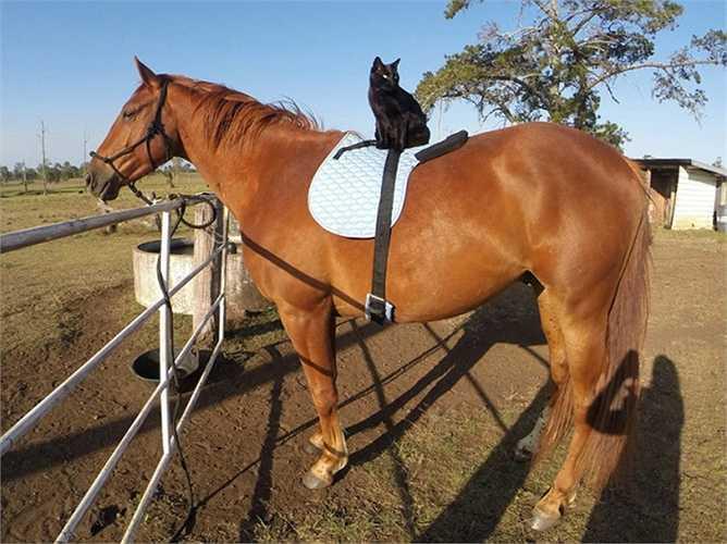 Mèo yên vị trên lưng ngựa