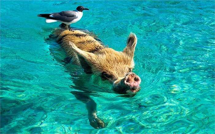 Con mòng đứng trên lưng lợn