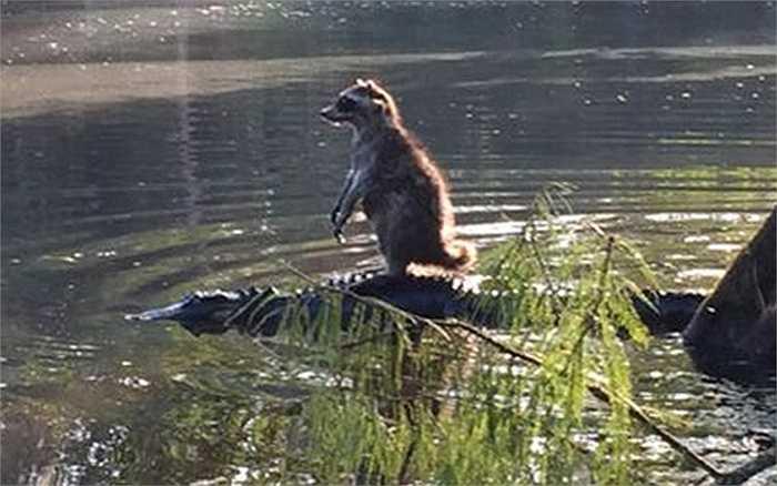 Chồn hùng dũng trên lưng cá sấu