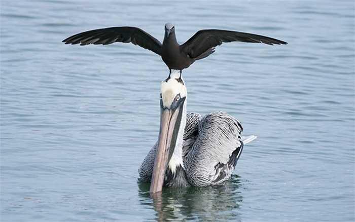Những loài chim rất hay tìm cách 'quá giang'