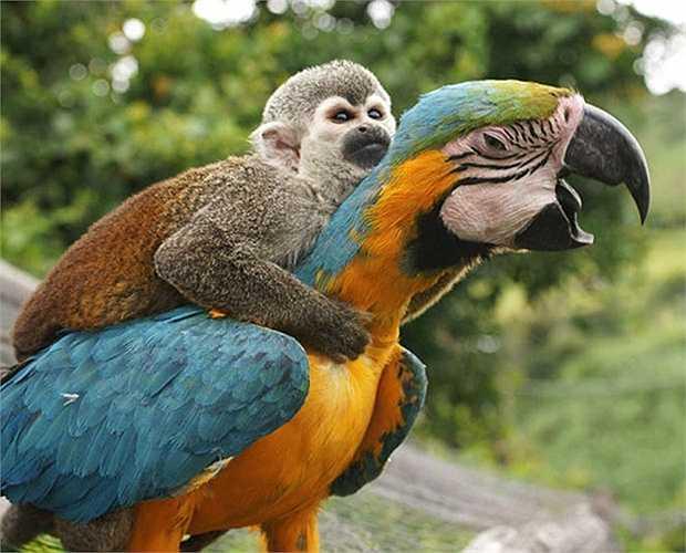 Con khỉ ôm chặt cổ vẹt